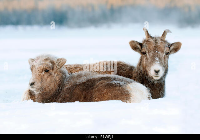 Bighorn sheep, ewe and lamb (Ovis canadensis), with frost-covered muzzles at -28C, Jasper National Park, Alberta, - Stock Image
