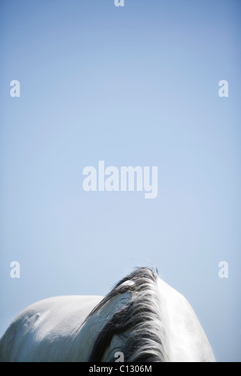detail of white horse - Stock Image