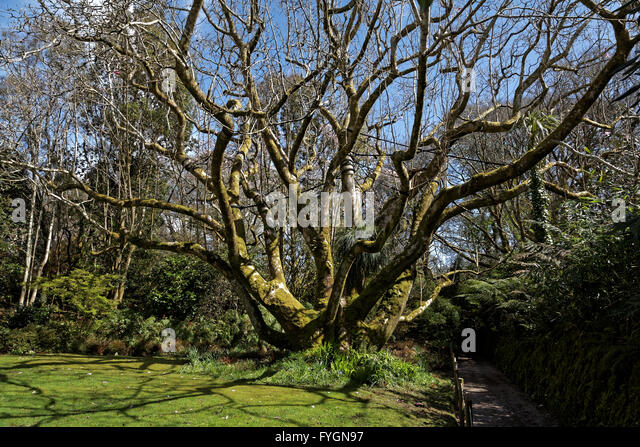 Giant Magnolia, Trengwainton Gardens, near Penzance, Cornwall, UK - Stock Image