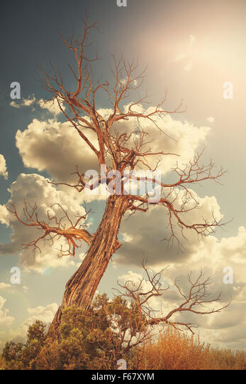 Retro toned lonely withered tree against sun with flare effect. - Stock Image