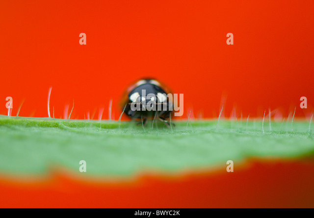 Close-up, Macro image of a 7-spot Ladybird - coccinella septempunctata resting on the vibrant red petal of  an Oriental - Stock Image