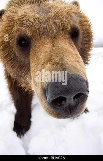 CAPTIVE Extreme close-up of brown bear at the Alaska Wildlife Conservation Center, Southcentral Alaska, Winter - Stock Image