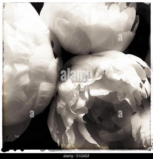Beautiful Peonies - Stock Image