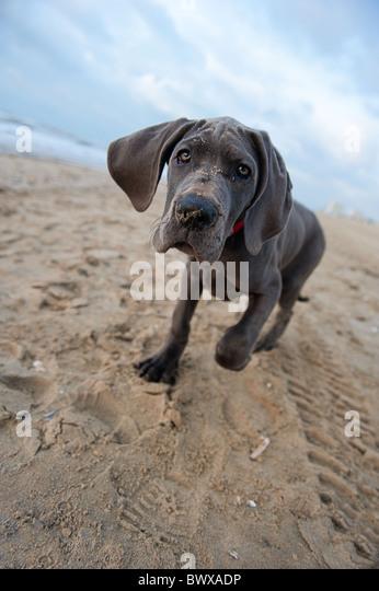 Beautiful Great Dane puppy on the beach - Stock Image