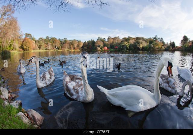 Swans on lake at Mount Steward, Northern Ireland. - Stock-Bilder