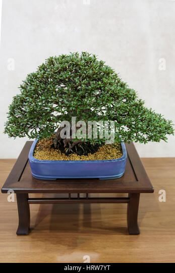 Bonsai tree,azalea - Stock Image