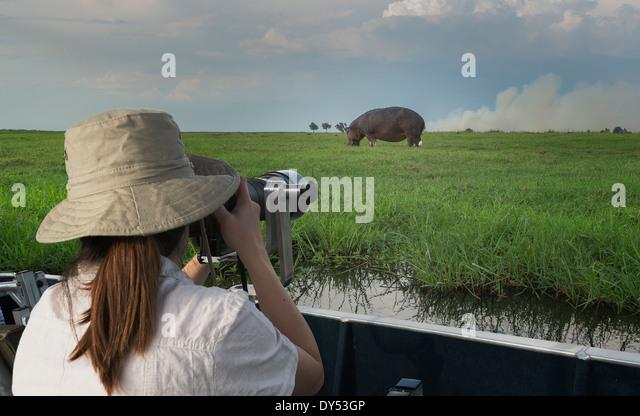 Woman photographing Hippopotamus from safari truck, Kasane, Chobe National Park, Botswana, Africa - Stock Image
