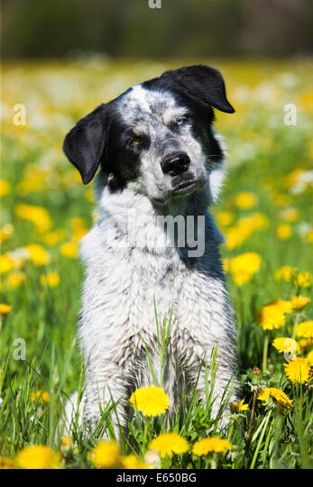 Husky Münsterländer Labrador mixed-breed dog, black and white dog sitting in a dandelion meadow, Austria - Stock Image