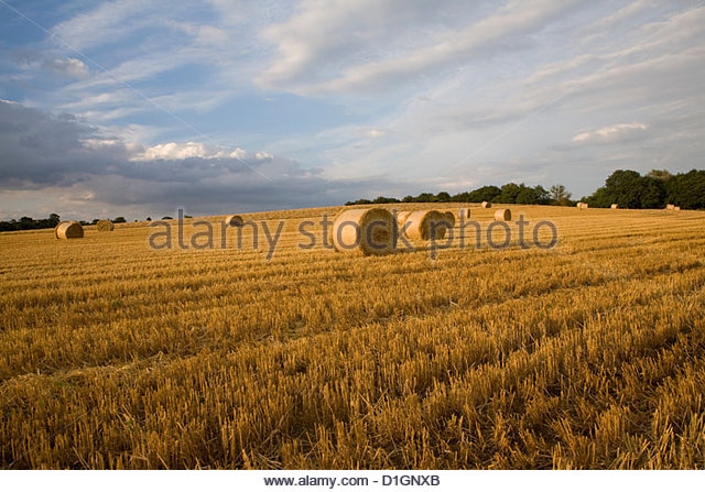 Round straw bales in field of harvested barley, Shottisham, Woodbridge, Suffolk, England, United Kingdom, Europe - Stock Image