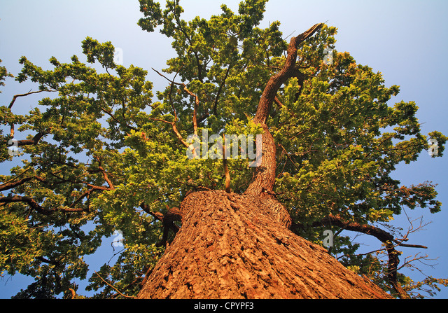 Old oak tree (Quercus robur), worm's-eye view - Stock Image