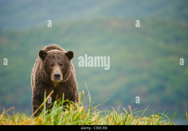 A coastal brown bear (grizzly bear) approaches over a ridge in Katmai National Park, Alaska - Stock Image
