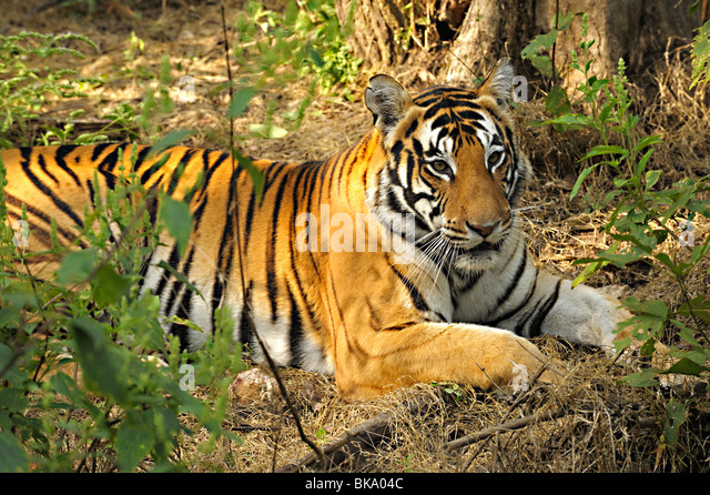 Tiger in the thick jungles of Kanha national park - Stock-Bilder