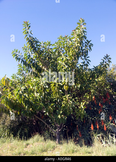 Rubber Tree Roots Stock Photos Amp Rubber Tree Roots Stock