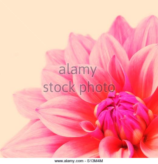 Close Up of a Pink Dahlia Flower - Stock Image