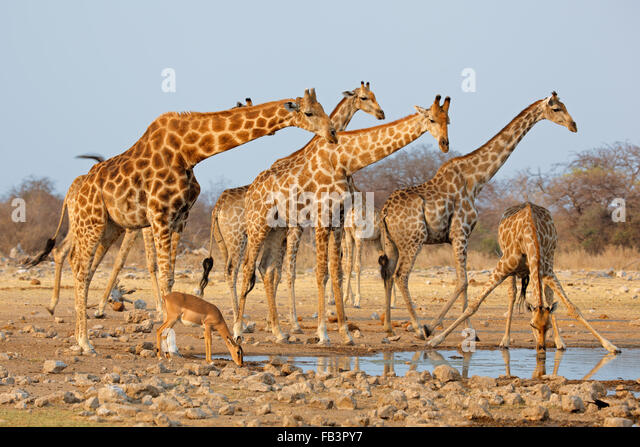 Giraffe herd (Giraffa camelopardalis) at a waterhole, Etosha National Park, Namibia - Stock Image