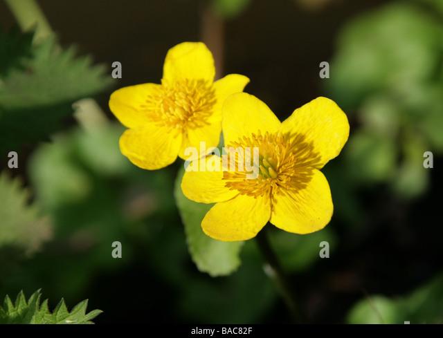 Marsh Marigold, Caltha palustris, Ranunculaceae - Stock Image