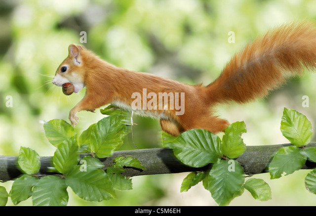 European red squirrel on tree - Stock Image