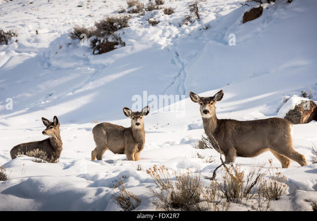 Three mule deer standing broadside in the snow - Stock Image
