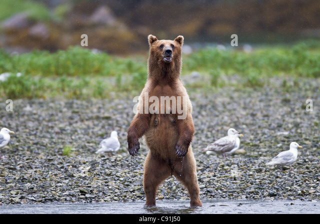 Brown bear sow standing alert on riverbank, Prince William Sound, Southcentral Alaska, Summer - Stock Image
