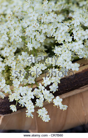 Sambucus nigra. Foraged elderflowers in a wooden basket - Stock Image