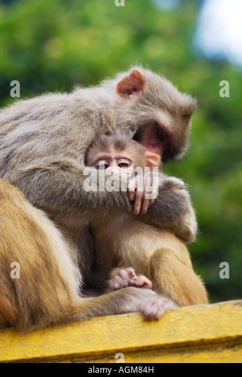 Mother and young macaque monkey. Kathnamdu, Nepal - Stock Image