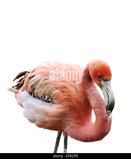 Digital Painting Of Pink Flamingo - Stock Image