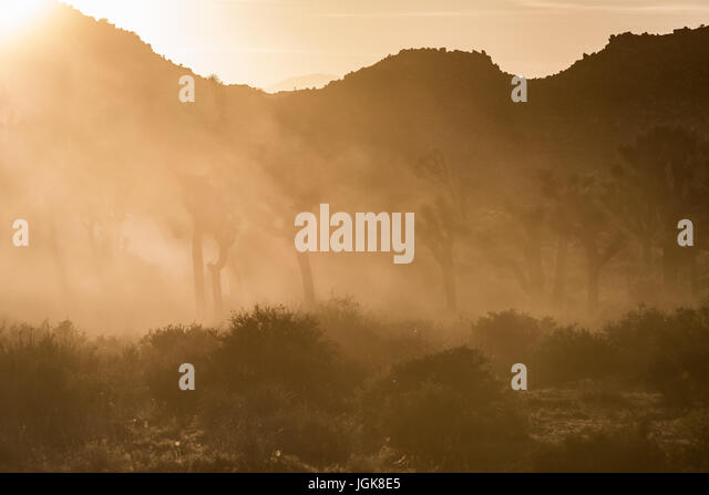 Thick Dusty Fog Through Joshua Tree Field - Stock Image