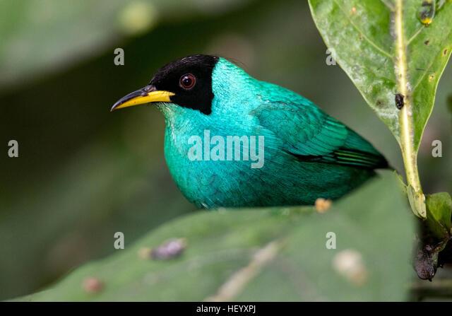 Green Honeycreeper (Male) - Laguna del Lagarto Lodge, Boca Tapada, San Carlos, Costa Rica - Stock Image