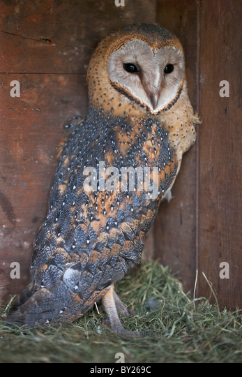 A young Barn Owl. - Stock-Bilder