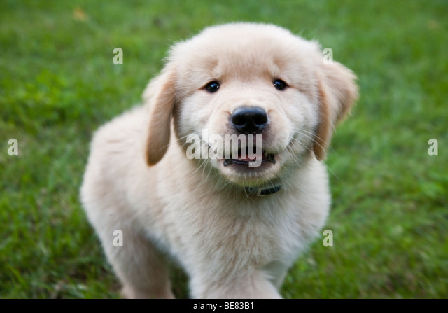 Eight week old Golden Retriever puppy. - Stock Image