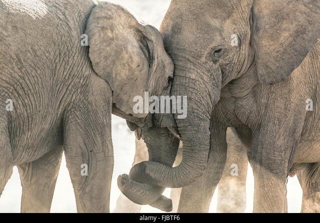 Two elephants tussle - Stock Image