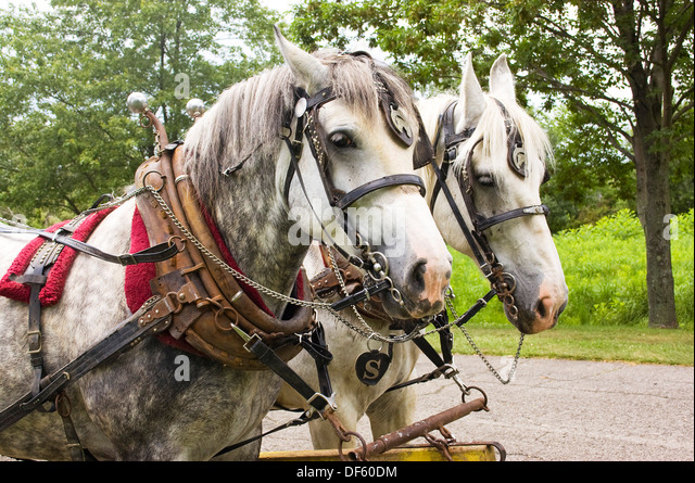 Dapple gray team of Percheron work horses in harness beside country road - Stock Image