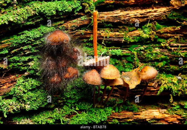 Mushrooms growing on a log being attacked by Pin mold fungus in Bramingham wood, Luton, Bedfordshire - Stock Image