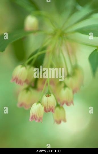 Enkianthus campanulatus, Red vein enkianthus, Pink flowers - Stock Image