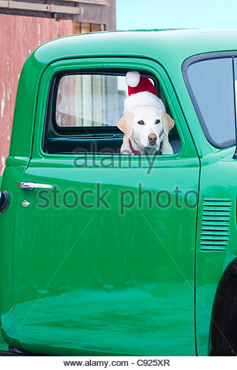Yellow Labrador Retriever wearing a Santa hat sits in the cab of a classic 1950 Chevrolet pickup, Hailey, Idaho, - Stock Image