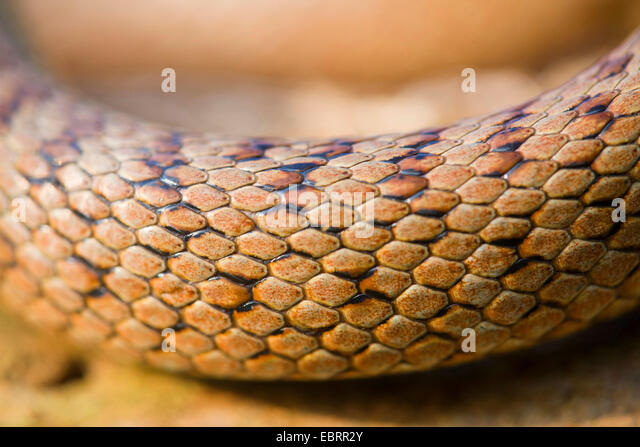smooth snake (Coronella austriaca), scales, Germany, Hesse - Stock Image