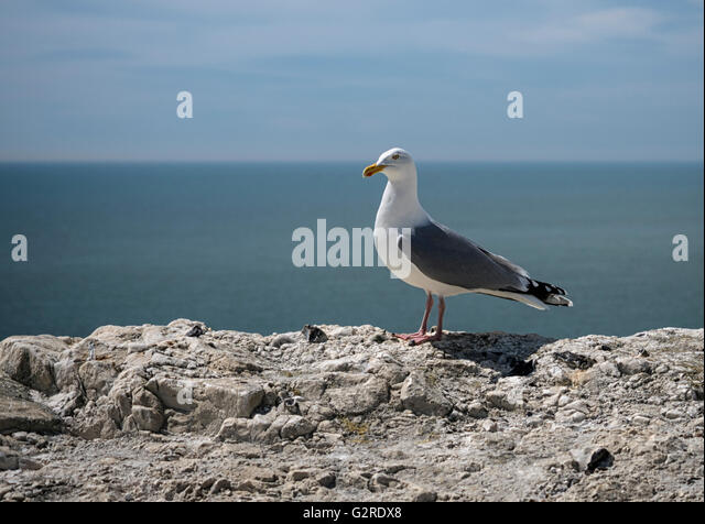 Seagull, or European herring gull (Larus argentatus), on top of the chalk cliffs of Sussex in the South East of - Stock Image