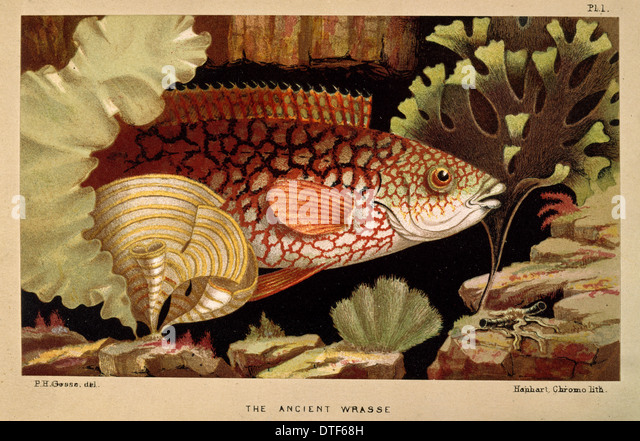 Ancient Wrasse - Frontispiece from the Aquarium - Stock Image