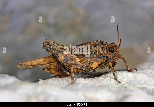 Depressed groundhopper, Flattened groundhopper (Uvarovitettix depressus, Depressotetrix depressa, Tettix depressus, - Stock Image