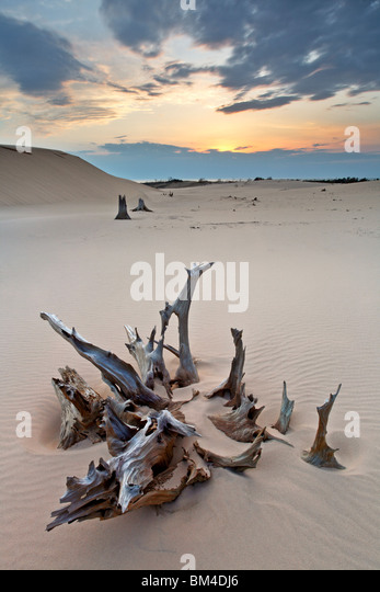 The eery remains of a forest surrounded by dunes at Silver Lake State Park, Mears, Manistee County, Michigan, United - Stock Image
