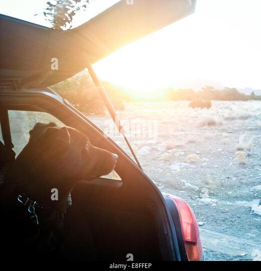 USA, Utah, Dog looking out of car - Stock Image