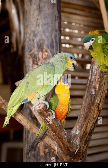 Bird, Parrot-pity-swamp, parrot-Greek, curica, Vassouras, Maranhão, Brazil - Stock Image