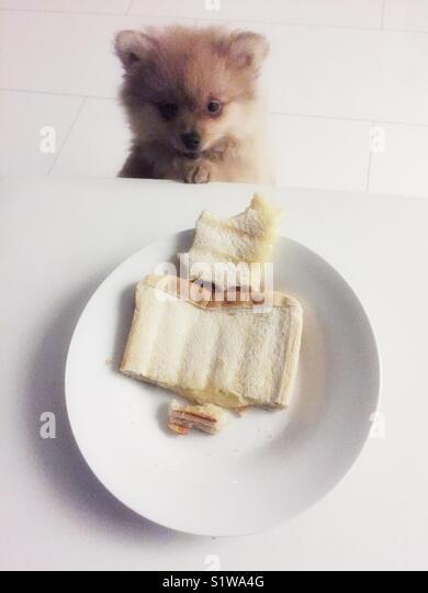 Pomaranion puppy looking at plate of sandwich toastie - Stock Image