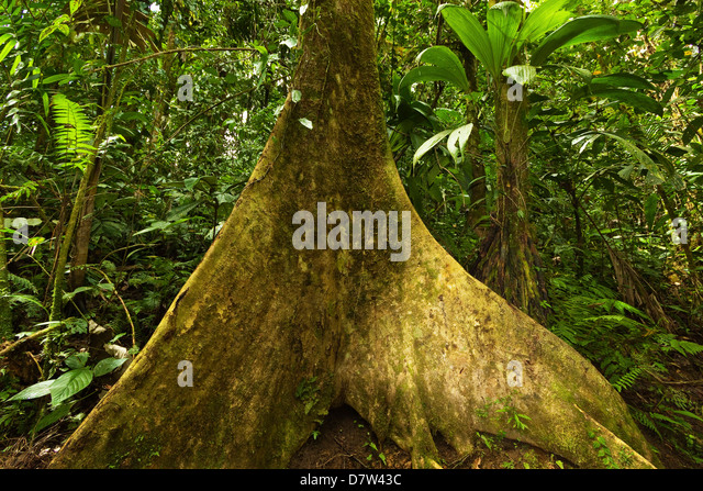 Buttress root in jungle at Arenal Hanging Bridges, La Fortuna, Alajuela Province, Costa Rica - Stock-Bilder