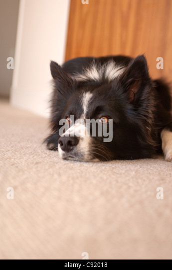 The Border Collie is a herding dog breed developed in the Anglo-Scottish border region for herding livestock, especially - Stock Image