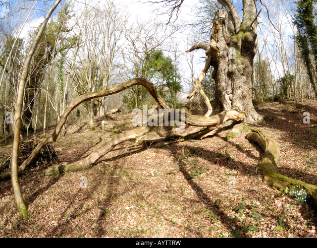 Old Oak at Cwm Byddog Nature Reserve - Stock Image