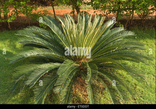 cycad stock photos cycad stock images alamy. Black Bedroom Furniture Sets. Home Design Ideas