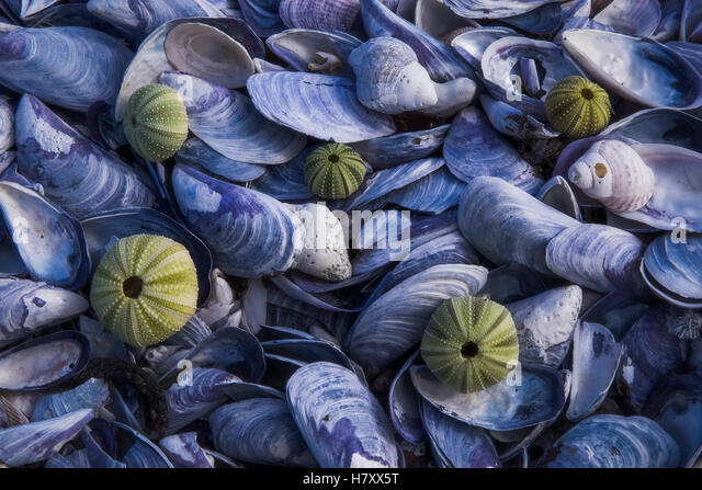 Dried up sea urchin shells lie admist a bed of shells along the shoreline of the ocean; South Africa - Stock Image