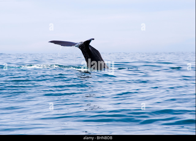 Sperm Whale Diving, Kaikoura, South Island, New Zealand - Stock Image