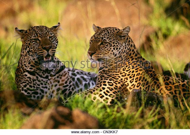 Leopard and adult cub, Masai Mara Game Resrerve, Kenya - Stock Image
